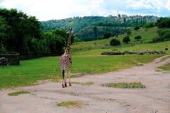 Giraffe dans le zoo images stock