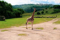 Giraffe dans le zoo photo libre de droits