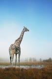 Giraffe dans un domaine Photo stock