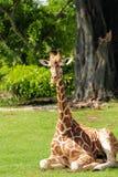 Giraffe dans un zoo Photos libres de droits
