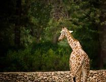 Giraffe on dark green background Stock Images