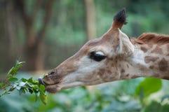 Giraffe de alimentação Fotos de Stock