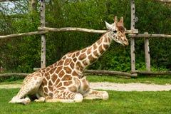 Giraffe de assento Imagem de Stock Royalty Free