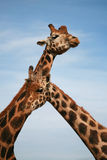 Giraffe de Baringo - animal africain photo libre de droits