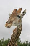 giraffe de buisson images libres de droits