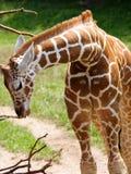 Giraffe de chéri Photo libre de droits