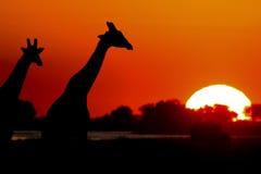 Giraffe de coucher du soleil Image stock
