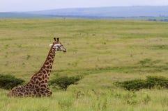 Giraffe de descanso, do lado imagem de stock royalty free