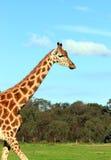 Giraffe de encontro a um céu azul Fotografia de Stock Royalty Free