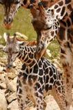 giraffe de famille Photos libres de droits
