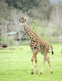giraffe de l'Afrique photographie stock libre de droits