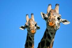 Giraffe de mère et de chéri Image stock