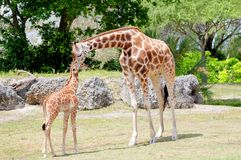 Giraffe de mère léchant sa chéri Images stock