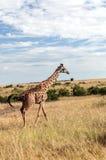 Giraffe de marche Photos libres de droits