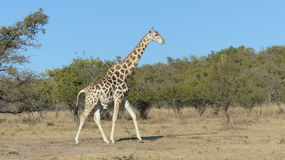 Giraffe de marche Photos stock