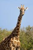 Giraffe de masai Photos libres de droits