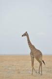Giraffe de masai Image libre de droits