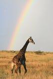 Giraffe de masai sous l'arc-en-ciel Photos stock