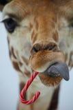 Giraffe de Noël Photographie stock libre de droits