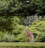 Giraffe de passeio Fotografia de Stock Royalty Free