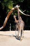 Giraffe de Rothschild Photographie stock libre de droits