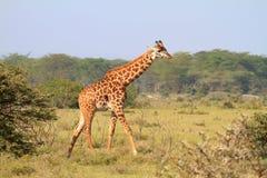 Giraffe de Rothschild au Kenya Photos libres de droits