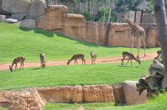 Giraffe with deers Royalty Free Stock Photos