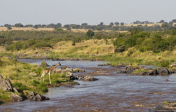 Giraffe in dem Mara-Fluss Stockfoto