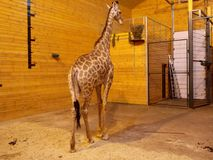 Giraffe demonstrates his disregard for the present. This giraffe is new to the zoo and all eyes are riveted on him, however he does not care Stock Image