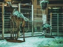 Giraffe in den Zootieren und -Strauß stockbild