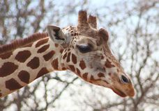Giraffe at the Denver Zoo. On a warm Spring day royalty free stock photo