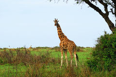 Giraffe in der afrikanischen Savanne lizenzfreies stockfoto