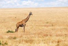 Giraffe in der afrikanischen Savanne stockbild