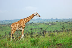 Giraffe in der afrikanischen Savanne, Uganda lizenzfreie stockfotos