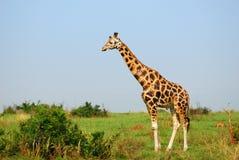 Giraffe in der afrikanischen Savanne, Uganda stockbild