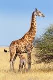 Giraffe der erwachsenen Frau mit Kalbsäuglings-Muttermilch Stockfotografie