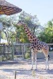 Giraffe in der Gefangenschaft stockfotografie