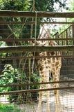 Giraffe in der Gefangenschaft lizenzfreie stockbilder