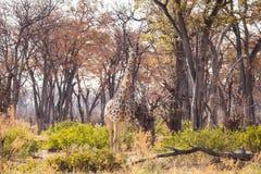 Giraffe in der Reserve von Botswana lizenzfreies stockbild