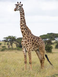 Giraffe in der Savanne Lizenzfreie Stockfotos