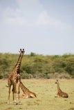 Giraffe der Tiere 004 Stockfotografie