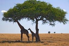 Giraffe des animaux 049 Image libre de droits