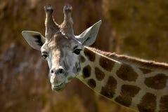 Giraffe des Portraits Stockfoto