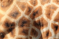 Giraffe detail Royalty Free Stock Photo
