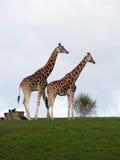 Giraffe di accoppiamenti Fotografia Stock