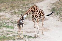 Giraffe di Rothschild (rothschildi di camelopardalis del Giraffa) Immagini Stock