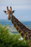 Giraffe, die über einem Baum schaut stockbilder