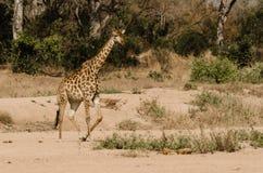 Giraffe, die über die Sande galoppiert, um andere Giraffen zu verbinden Lizenzfreie Stockbilder