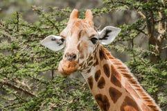 Giraffe, die Akazien-Blätter isst Stockfoto
