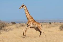 Giraffe, die auf afrikanischen Ebenen läuft lizenzfreie stockfotografie